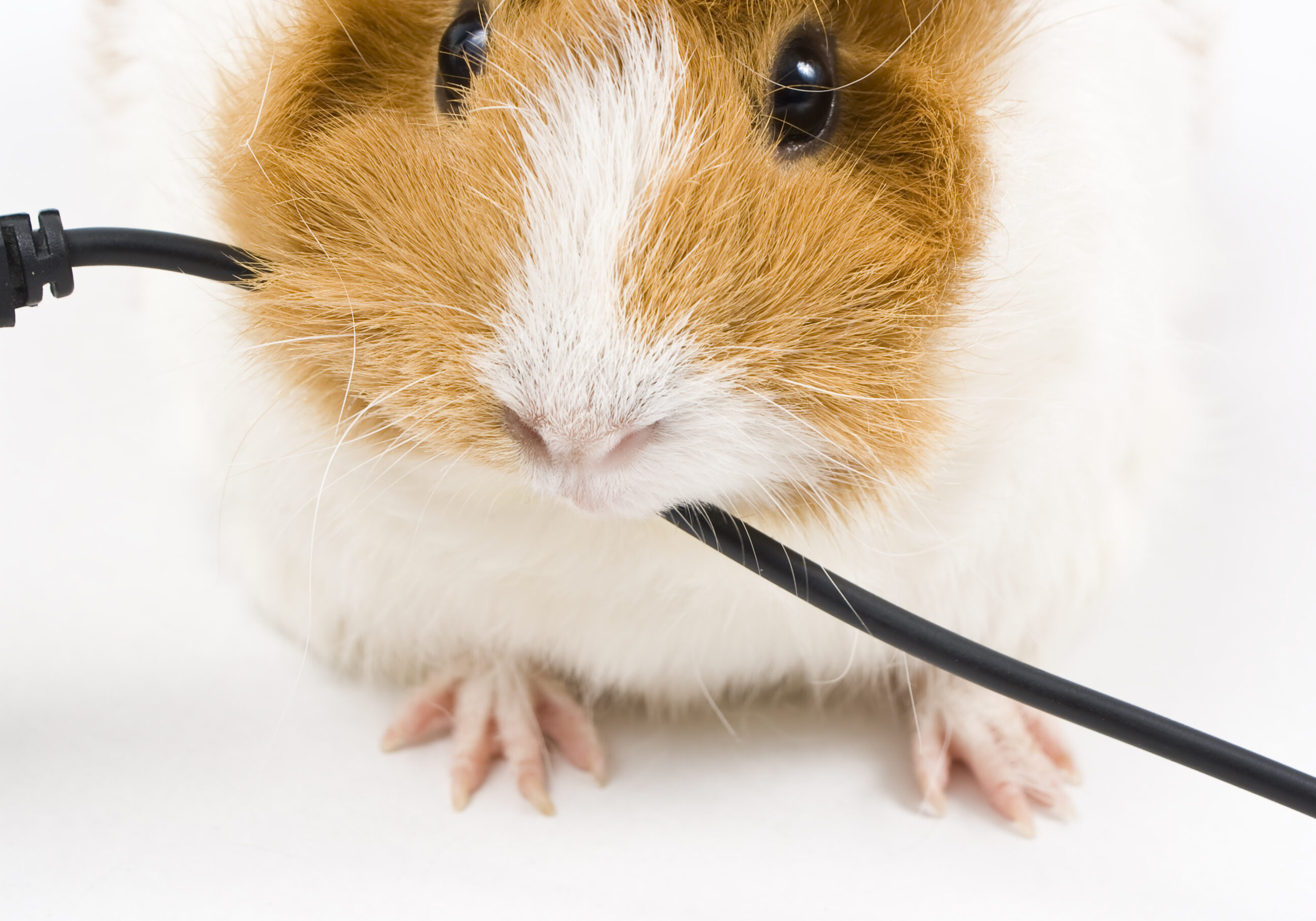Little guinea pig eating a blalck usb cable